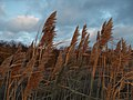 Сухой тростник - panoramio (1).jpg