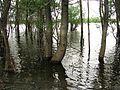 Участок пойменного леса.jpg