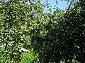 Яблоки - panoramio.jpg