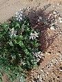 זיהוי צמח + פרח 2, 28.3.18.jpg