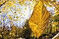 برگ زرد-پاییز-yellow leaves-falling leaves-fall 04.jpg