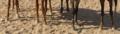 ساقا حصان 2.PNG