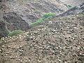 گوسفندان - panoramio.jpg