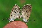 புல் நீலன் வண்ணத்துப்பூச்சிகள் புணர்ந்த நிலையில் - Lesser Grass Blue butterflies in love.jpg