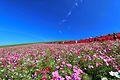 ひたち海浜公園 - panoramio (146).jpg