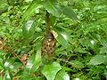 アブラゼミ (油蟬) (Large Brown Cicada) (Graptopsaltria nigrofuscata) (5966555968).jpg