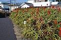 キダチアロエの花 白浜にて Aloe flowers 2014.1.04 - panoramio.jpg