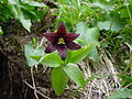 クロユリ(黒百合)(Fritillaria camtschatcensis) (5965990825).jpg