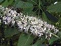 七葉樹 Aesculus chinensis -上海共青森林公園 Shanghai, China- (9229802422).jpg