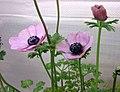 冠狀銀蓮花 Anemone coronaria -香港花展 Hong Kong Flower Show- (13217666504).jpg