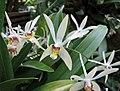 厚唇蘭屬 Epigeneium cymbidioides (Dendrobium cymbidioides) -日本大阪鮮花競放館 Osaka Sakuya Konohana Kan, Japan- (41355916154).jpg