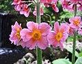 報春花屬 Primula x bullesiana -比利時 Leuven Botanical Garden, Belgium- (9157738331).jpg