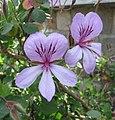 天竺葵屬 Pelargonium betulinum -比利時國家植物園 Belgium National Botanic Garden- (9198097757).jpg