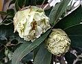 山茶花-重瓣銀蓮花型 Camellia japonica Double Anemone Form -深圳園博園茶花展 Shenzhen Camellia Show, China- (25736410387).jpg