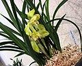 春蘭黃金大富貴 Cymbidium goeringii 'Golden Great Riches & Honours' -香港沙田國蘭展 Shatin Orchid Show, Hong Kong- (12712611695).jpg