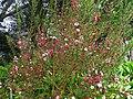 松紅梅 Leptospermum scoparium - panoramio.jpg