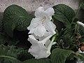 海角櫻草 Streptocarpus Lacy Snowflake -倫敦植物園 Kew Gardens, London- (9229896638).jpg
