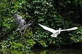 白鷺與夜鷺 Little Egret and Night Heron - panoramio.jpg