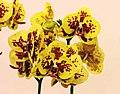 蝴蝶蘭 Phalaenopsis Lioulin Peacock -台南國際蘭展 Taiwan International Orchid Show- (39129454910).jpg