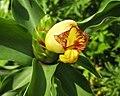 閉鞘薑屬 Costus allenii 'Red Stem' -新加坡植物園 Singapore Botanic Gardens- (14913315413).jpg