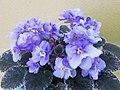非洲紫羅蘭 Saintpaulia Toy Castle -香港北區花鳥蟲魚展 North District Flower Show, Hong Kong- (38402097195).jpg