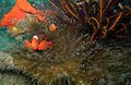 02-EastTimor-Dive Bobs-Rock 13 (Clown Fish)-APiazza.JPG
