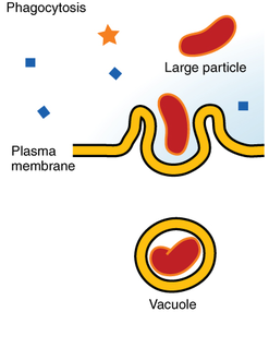 Phagocytosis An endocytosis process that results in the engulfment of external particulate material by phagocytes. The particles are initially contained within phagocytic vacuoles (phagosomes), which then fuse with primary lysosomes to effect digestion of the par
