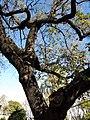 034 Zoo de Barcelona, roure pènol (Quercus robur).jpg