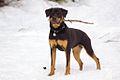 03 Snow Bunny Talitha Rottweiler.jpg