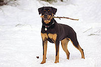 Rottweiler Wikipedia