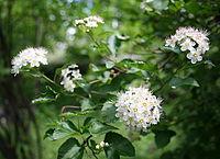 0 Physocarpus opulifolius - Samoëns.JPG