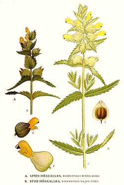 122 Rhinanthus minor, Rhinanthus major.jpg
