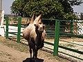 14.Біосферний заповідник.Двогорбий верблюд (5).jpg