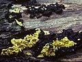 1984-06-23 Hypocrea sulphurea (Schwein.) Sacc 74813.jpg