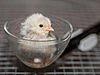 1 day old chick hatchling 2.jpg