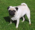2.5-year-old fawn male pug.jpg