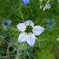 2007-10-25Nigella damascena 11.jpg