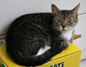 Female grey tabby and white cat resting on a b...