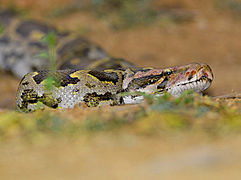 2008-Indian-Rock-Python.jpg