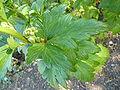 2009-09-27 Unknown plant 1 (leaf).JPG