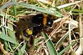 2010-03-16 (3) Erdhummel, Buff-tailes bumblebee, Bombus terrestris.JPG