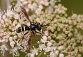 2011-07-31 15-09-06-Conopidae.jpg