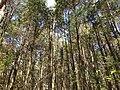 2013-05-10 10 51 43 Dense Atlantic White Cedar swamp along the Mount Misery Trail in Brendan T. Byrne State Forest.jpg