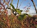20131209Rosa multiflora Reilingen7.jpg