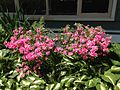 2014-05-17 11 46 08 Pink-flowered Azalea along Terrace Boulevard in Ewing, New Jersey.JPG