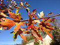 2014-11-02 15 14 57 Silver Maple foliage during autumn along Pingree Avenue in Ewing, New Jersey.jpg