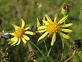 20141003Jacobaea vulgaris.jpg