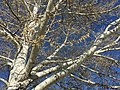 2015-03-27 16 23 30 Catkins on a Poplar at the Elko High School in Elko, Nevada.JPG