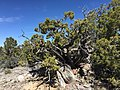 2015-04-27 13 20 04 An older Utah Juniper on the north wall of Maverick Canyon, Nevada.jpg
