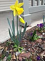 2016-03-13 14 27 04 King Alfred Daffodil blooming along Tranquility Court in the Franklin Farm section of Oak Hill, Fairfax County, Virginia.jpg